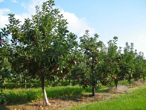 Засаженный плодовыми растениями сад
