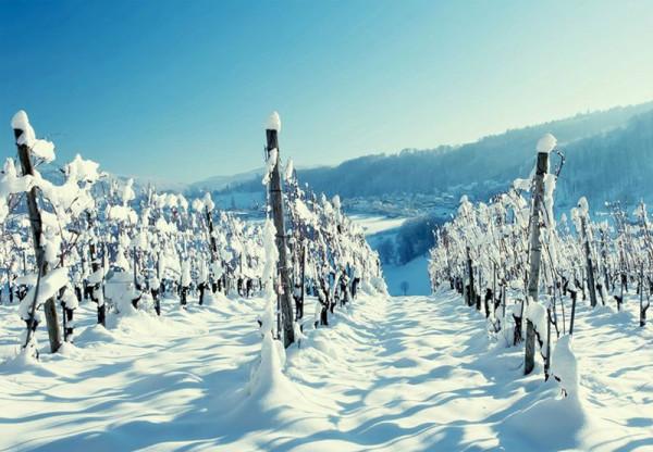 Защищенный от морозов виноградный сад