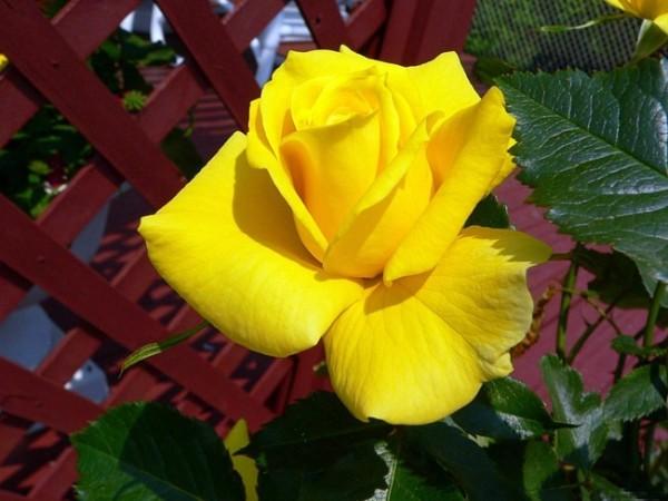 Желтый цветок.