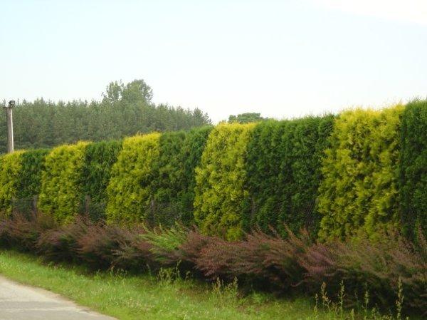 Живая изгородь достаточно хорошо может защитить участок