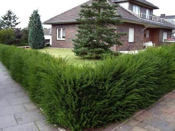 Живая изгородь из кипарисового кустарника на загородном участке.
