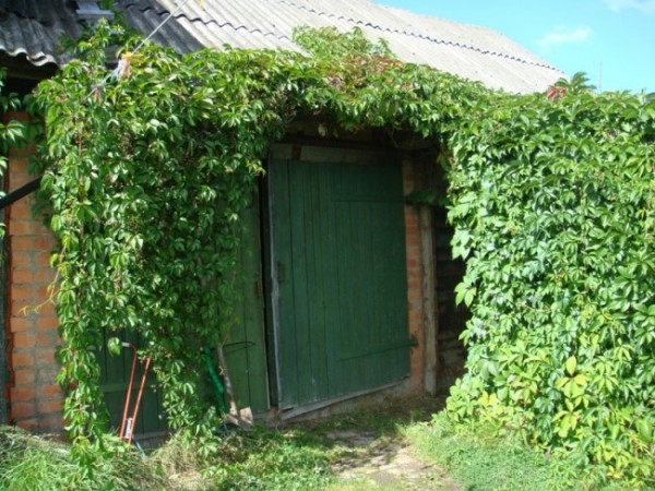 Живая стена из дикого (девичьего) винограда