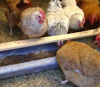 Зимой нужно правильно организовать кормление кур